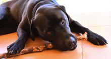 Labrador Chewing Stick