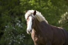 Schwarzwälder Kaltblut Pferd, Schwarzwälder Fuchs