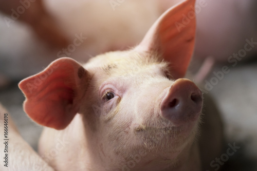Photo Small piglet waiting feed in the farm