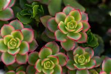 Succulent Close Up. Plant, Pla...