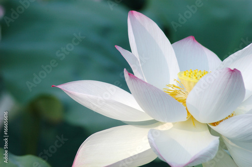 Lotus flower posters wall art prints buy online at europosters blooming lotus flower in summer pond with green mightylinksfo