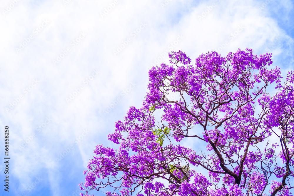 Jacaranda tree in Adelaide