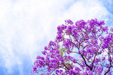 Jacaranda Tree In Adelaide