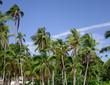 Coconut plantation at sunny day