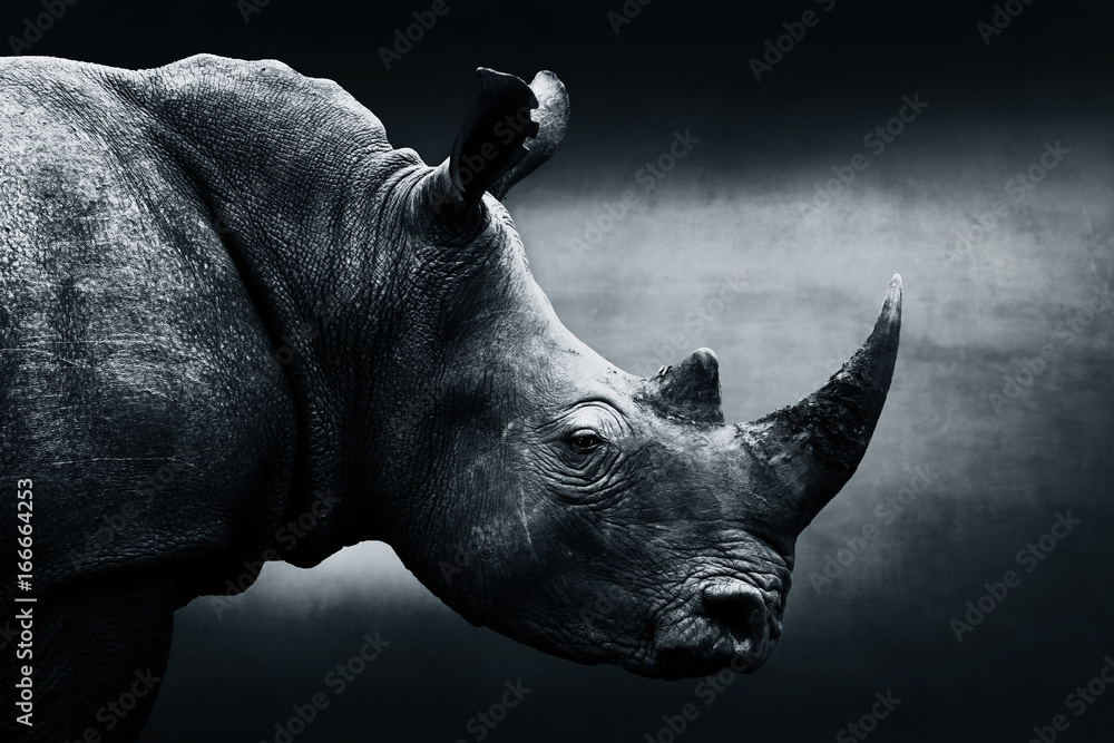 Fototapeta Highly alerted rhinoceros monochrome portrait. Fine art, South Africa. Ceratotherium simum