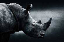Highly Alerted Rhinoceros Mono...