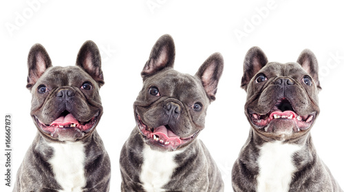 Ingelijste posters Franse bulldog Portrait of a French bulldog dog looking