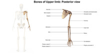 Bones Of The Upper Limb_Poster...