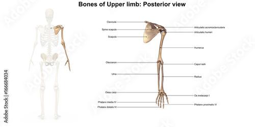 Photo Bones of the upper limb_Posterior view