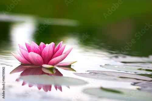 Poster de jardin Nénuphars lotus flower in pond