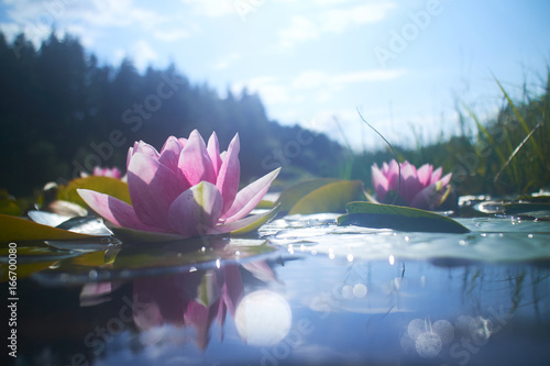Deurstickers Lotusbloem lotus flower in pond