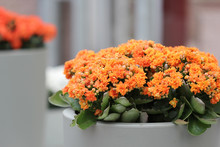 The Ceramic Flowerbed With Kalanchoe Flowers