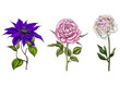 Set with peony, clematis and rose flowers, leaves and stems isolated on white background. Botanical illustration