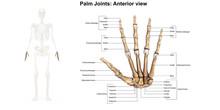 Left Hand_Anterior(palmar) View