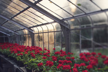 An Old Glass Greenhouse Where Geraniums Grow In Morning Light