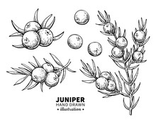 Juniper Vector Drawing. Isolat...