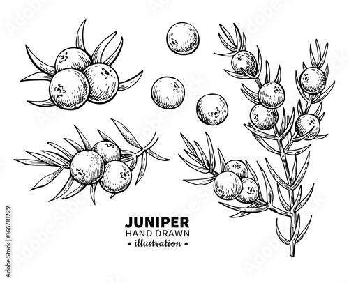 Foto  Juniper vector drawing
