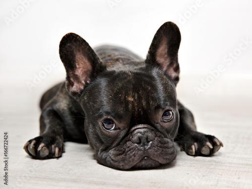Deurstickers Franse bulldog FOTOS BULLDOG FRANCES, SESION DE ESTUDIO.