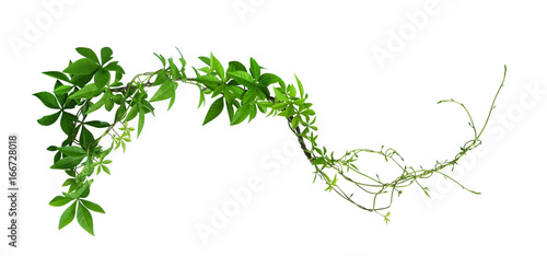Valokuva  Wild morning glory leaves jungle vines isolated on white background, clipping pa