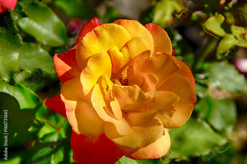 Rio Samba rose Poster