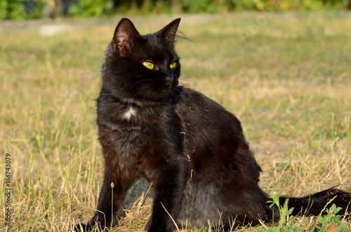 Staande foto Buffel Portrait of black cat with green eyes outside,photo