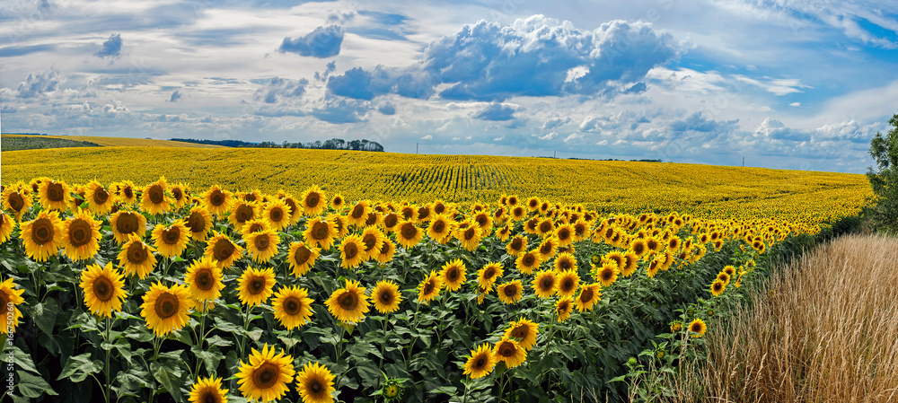 Fotografie, Obraz  Summer landscape with a field of sunflowers