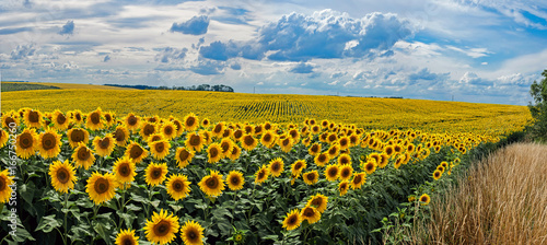 Spoed Foto op Canvas Zonnebloem Summer landscape with a field of sunflowers