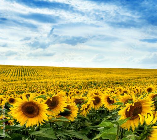 Foto auf Gartenposter Landschappen Sunflower field landscape