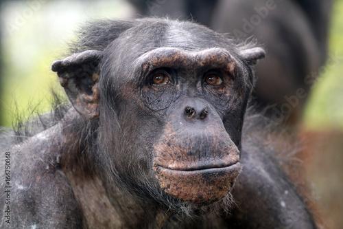 Zdjęcie XXL Szympans