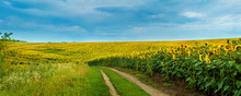 Sunflowers Field With A Dirt R...