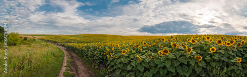 In de dag Zonnebloem panoramic view with a field of sunflowers with dirt road
