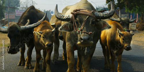 Foto auf Leinwand Buffel Buffalo