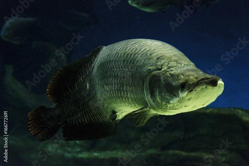 arapamia-ogromna-ryba-w-wodzie