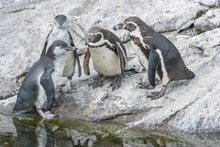 Relaxed Penguin Meeting By The...