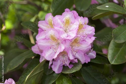 Tuinposter Azalea rosa Rhododendronblüten