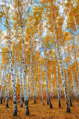 Fototapeta Brzoza autumn birch forest