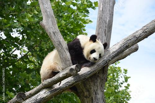 Fotografie, Obraz  Panda géant sur sa branche