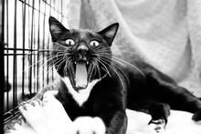 Tuxedo Cat Yawning