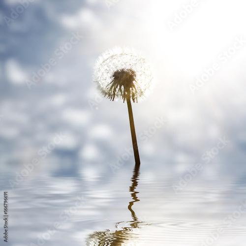 piekny-dandelion