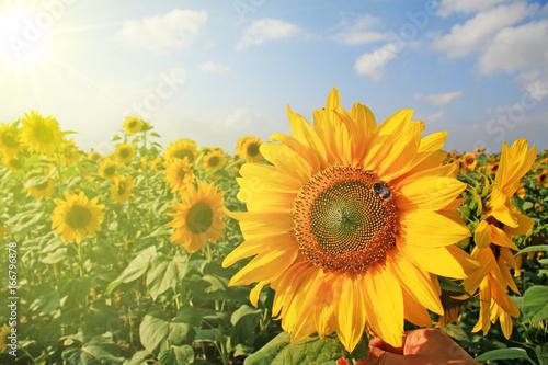 Fotobehang Zwavel geel Wunderschöne Sonnenblume mit einer Biene