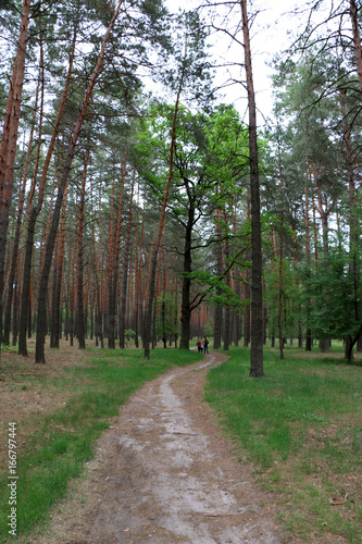 Deurstickers Berkbosje Beautiful pine forest