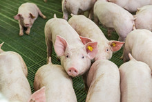 Pink Pigs, Pigs On The Farm, P...