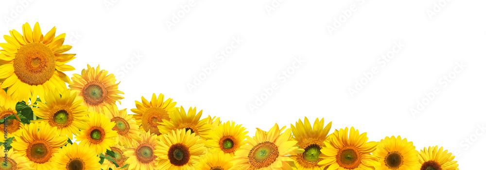 Sonnenblumen auf weissem Hintergrund