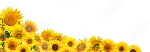 Poster Zonnebloem Sonnenblumen auf weissem Hintergrund