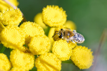 A Colletes Simulans Also Known...
