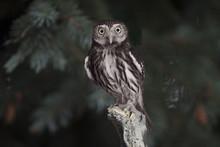 Pygmy Owl - Ferruginous (Glaucidium Brasilianum) Perched