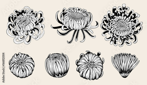 Canvas Print Chrysanthemum vector on brown background