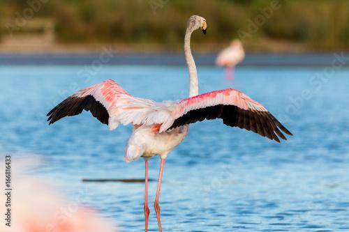 Foto op Aluminium Flamingo Flamingo mit ausgespreizten Flügeln