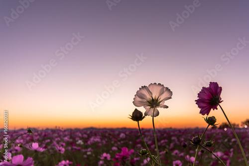Foto op Aluminium Lavendel 夕暮れのコスモス