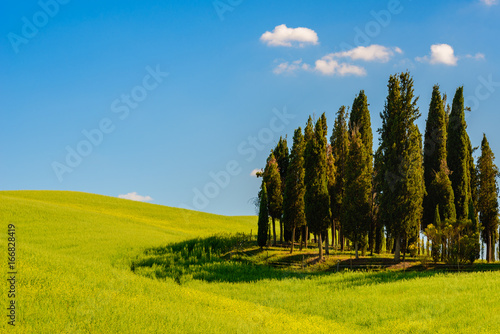 Poster Bleu Cypress trees and green field against blue sky
